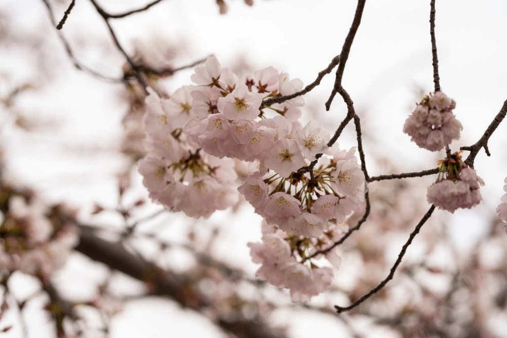 Washington DC Cherry Blossoms | Tidal Basin Cherry Blossoms \ Washington DC Travel Guide