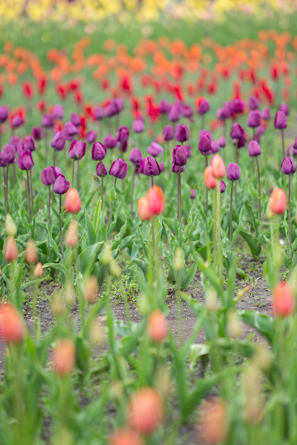 Petite Fashion Blog | Holland Tulip Time | Tulip Festival | Tulip Fields | J. Crew Factory Striped Dress | J. Crew White Denim Jacket